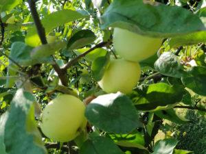 jabłka- papierówki